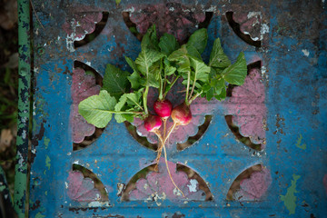 Radishes on metal chair