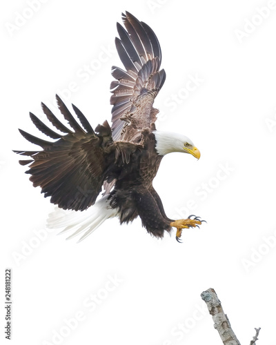 Poster Aigle American Bald Eagle Landing on a Tree Branch