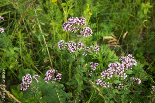 Medicinal plant common origanum (Origanum vulgare) grows on a green meadow in summer forest in the natural environment Wallpaper Mural