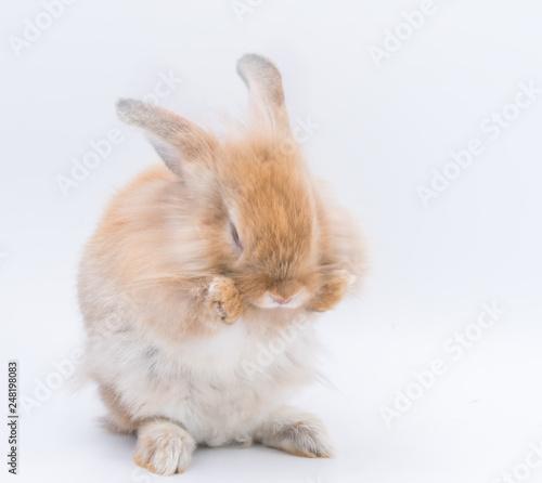 Zdjęcie XXL Czerwony królika królika przyglądający frontowy mądry na białym tle, Czerwony królik odizolowywający dla Easter pojęcia.