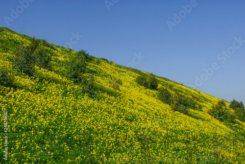 Prato giallo Fototapeta