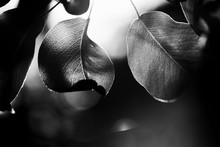 Monochrome Photo Wild Peach Leaves. Beautiful Black White Tree Leaves Sunny Day Springtime Nature Scene. Shallow Depth Of Field