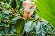 Frau erntet Kaffee in Kolumbien im Kaffeedreieck bei Salento
