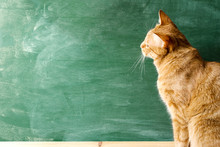 Red Cat Against The Background Of A Green Blackboard. Space On A Board For Your Text.