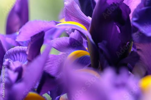 Poster Iris Purple delicate iris flowers. Selective focus. Soft, gentle, airy, elegant artistic image.