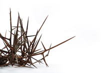 Spines Of Acacia (Gleditsia Tr...