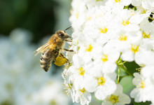 Honey Bee On Blossoms With A Sac Of Pollen Collected