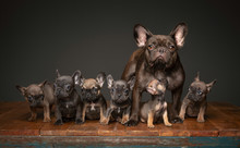 Litter Of French Bulldog Puppies With Mom