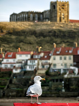 Seagull With Whitby Abbey In The Background