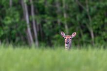 White-tailed Deer Doe Peeking Over Long Grass In Summer