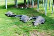 canvas print picture - Crocodiles on a crocodile farm in South Africa