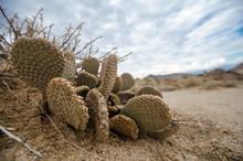 Alabama Hills Beavertail Prickly Pear Cactus