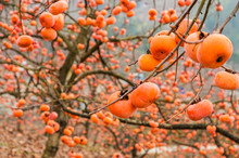 The Persimmon Fruits Closeup In Autumn