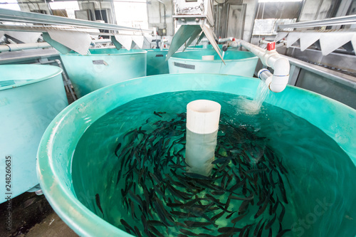 Valokuva Tanks inside of a fish hatchery breed tiny Rainbow Trout to stock in nearby lake