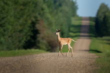 White-tailed Deer Young Buck W...
