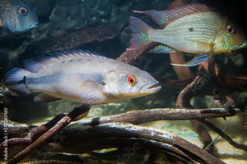 Fotobehang Pike cichlid (Crenicichla sp.)