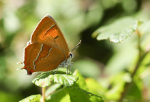The Side View Of A Rare Brown Hairstreak (Thecla Betulae) Perched On A Leaf .