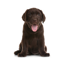 Chocolate Labrador Retriever P...