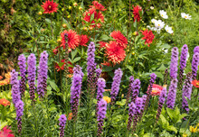 Liatris Spicata Flowers In The Summer Garden