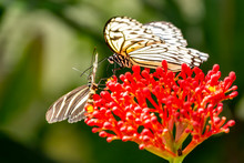 An Idea Leuconoe (Papiervlinder) In The Butterfly Garden Of The Zoo Wildlands In The City Emmen, Netherlands