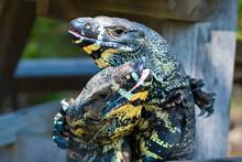 Two Lace Goannas, Australian Monitor Lizards Fighting Ferociously
