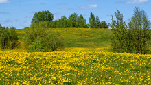 Spring Flowering Dandelions In The Countryside. Dandelion Fields. Yellow Blooming Field Trees And Shrubs