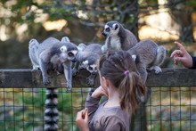 Feeding And Petting Lemurs In The Zoo