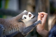 Feeding And Petting Lemurs In ...