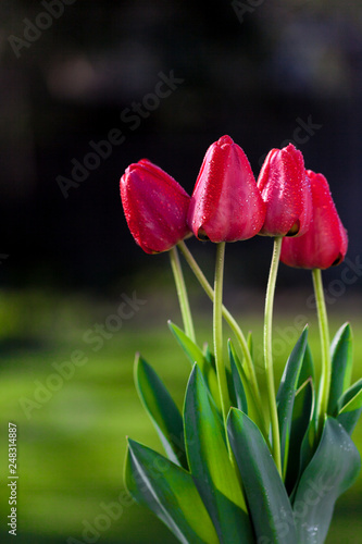 Photo  Red bunch of tulips