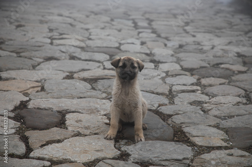 Fotografia cur puppy in foggy day on the stone lane. mist and dog(s)