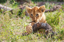 Lion Cub Playing In The Masai Mara National Reserve In Kenya