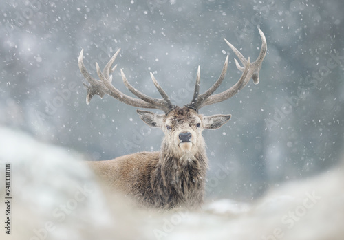 Tuinposter Hert Red deer stag in the falling snow