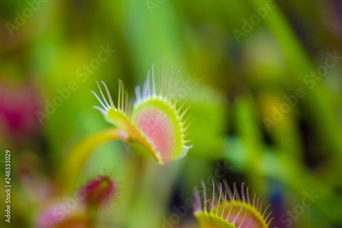 Fotografie, Obraz  Trap leaf of dionaea muscipula carnivorous plant