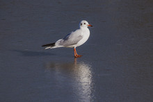 Black Headed Seagull (chroicocephalus Ridibundus) In Winter Plumage Standing On A Frozen Lake In Winter