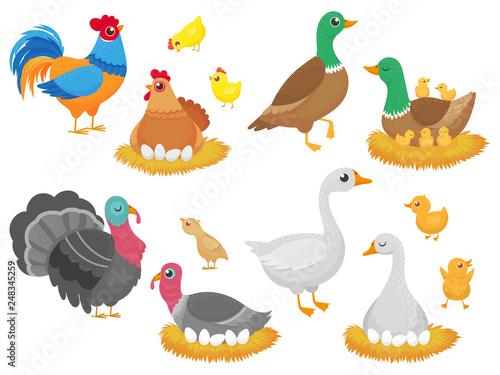 Farm birds. Poultry chicken, goose duck bird and turkey family nest isolated cartoon vector set