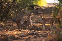 Four Young Deer Standing On A Forest Road In The Fall.