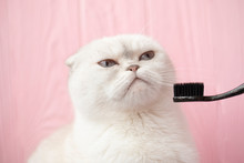 White Blue-eyed Cat On A White Background Licking, Free Space For A Design. Cat With Toothbrush.