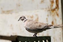 Eurasian Collared Dove Bird