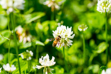 The Bee Pollinates The Clover