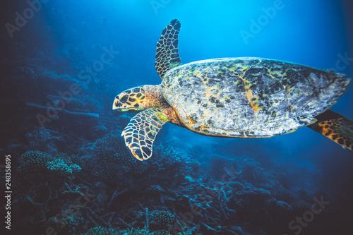 Fototapeta Large sea turtle swimming in Indian Ocean obraz na płótnie