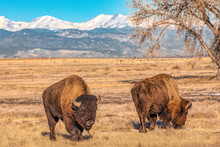 Bison Grazing In Front Of Snow Capped Mountains