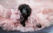 Dog, Black Poodle, In A Cloud Of Tulle Powdery Skirt