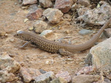 A Whiptail Lizard Foraging For Food And Blending In With Its Environment
