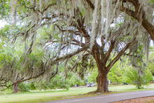Southern Live Oak Tree With Sp...