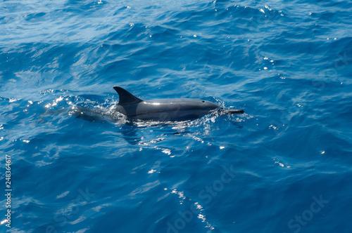 Plakat delfin w wodzie - Fernando de Noronha