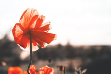Close-up Of A Poppy Flower On A Long Stem On Grass Background. Tinted In Vintage Style