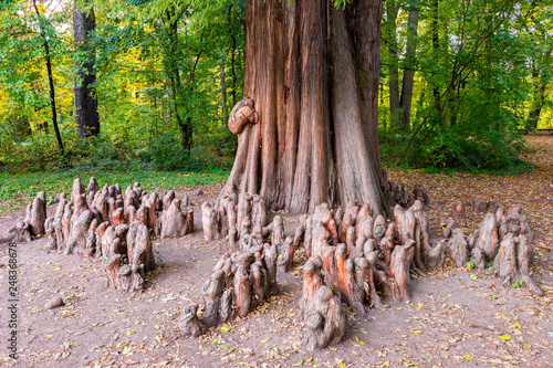 Fotografie, Obraz  Close up photo of the knees and the trunk of a bald cypress (Taxodium distichum)