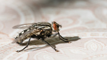 Common Housefly Or Fly, Closeu...