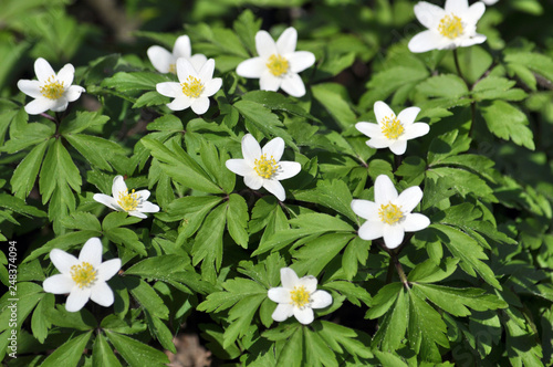 In the wild bloom early spring perennial plant Anemone nemorosa Fototapeta
