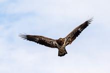 Bald Eagle (Haliaeetus Leucocephalus) Young Soaring In The Sky, Iowa, USA.
